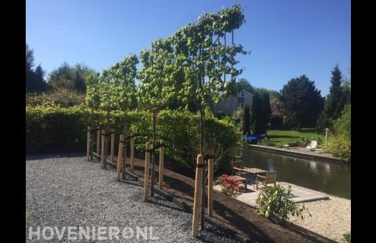 Leibomen in tuin aan het water 1
