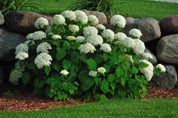 Hortensia snoeien