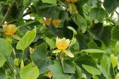 Amerikaanse Tulpenboom